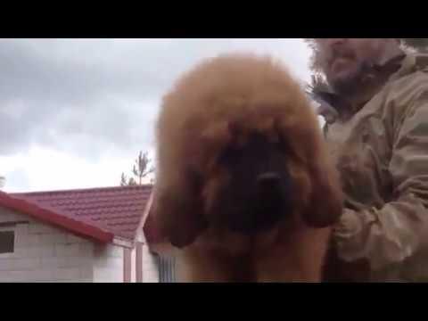 Тибетский мастиф купить щенка в питомнике Extream Bear