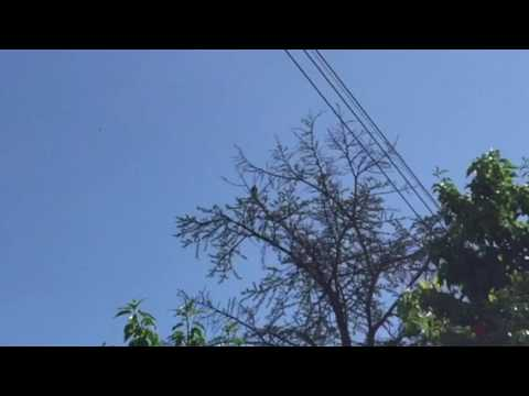 Backyard Birdwatching 2: Hawk in the tree