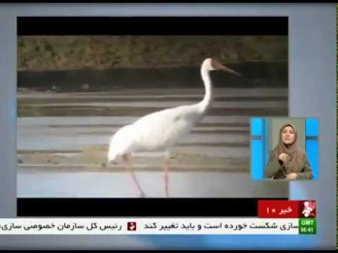 Iran Alone Dorna migrated to FereydounKenar wetland مهاجرت درناي تنها به درياچه فريدونكنار ايران