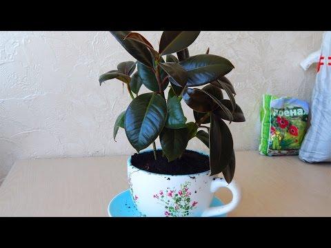 Фикус. Пересадка фикуса - Популярные комнатные домашние растения