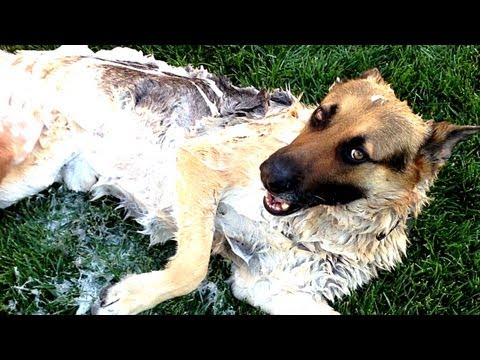 HOW TO WASH A GERMAN SHEPHERD DOG