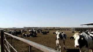 Farm mit 15 000 Kühen