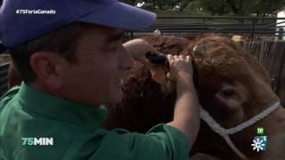75 minutos | Feria de ganado