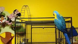 Попугай ара выходит гулять
