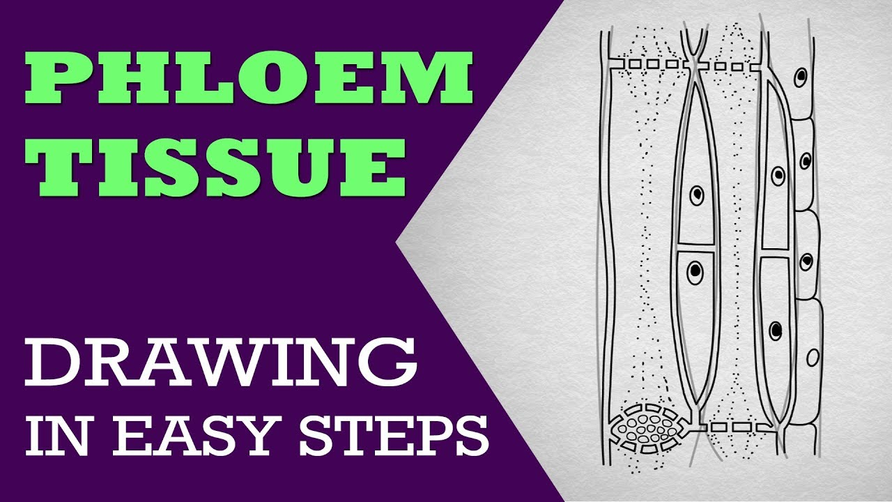 How To Draw Phloem In Easy Steps   9th Biology   Cbse