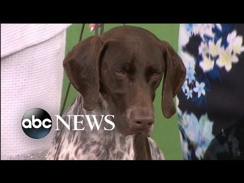 German Shorthaired Pointer Wins 'Best in Show' at Westminster