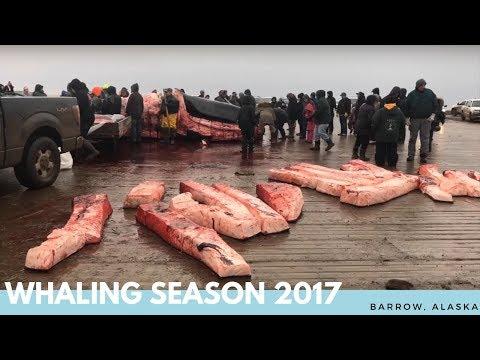 Fall 2017 Whaling Season - Congratulations Anaġi Crew!!! - Barrow, Alaska
