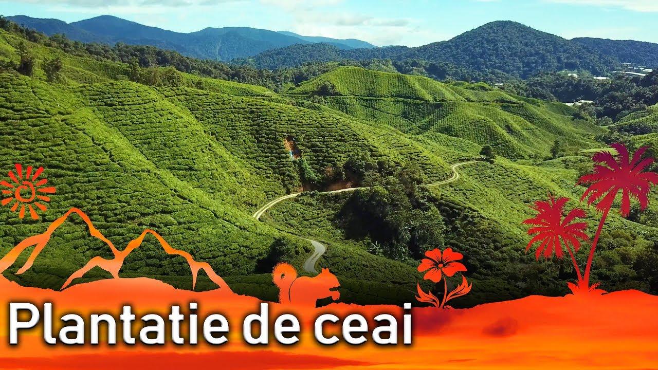 Am zburat deasupra plantatiilor de ceai (cu drona) || Jurnal de calatorii #28