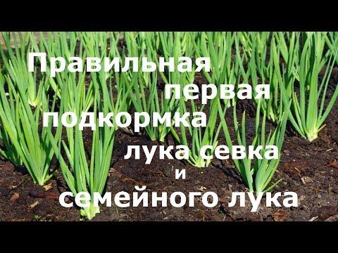 Правильная первая подкормка лука севка и семейного лука! | подкормить | семейного | подкормка | семейный | севок | севка | лука | чем | лук | по