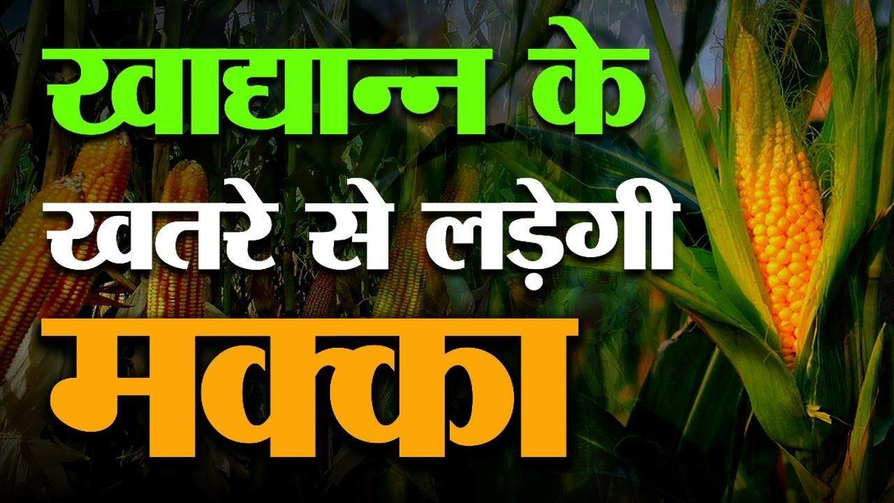 किसान करें मक्का की खेती हर तरह से है फायदे का सौदा | Maize cultivation की  पूरी जानकारी