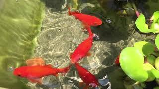 プランターで飼っている金魚ちゃんたちです。