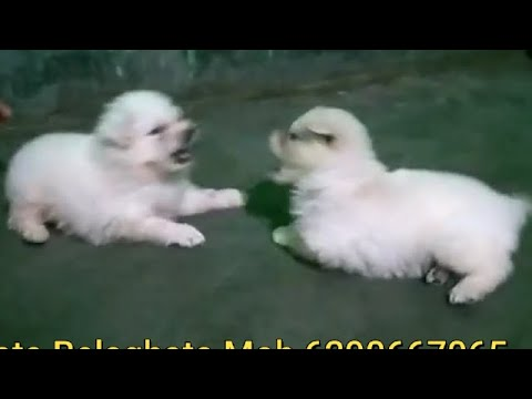 Cute Playful Spitz & Lhasa Apso Puppy For Sale At Kolkata Belaghata Mob  6290 667 065