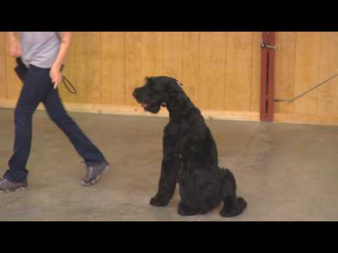 "Giant Schnauzer Male ""Yazu"" 14 Months Old Obedience Trained Watch Dog For Sale"