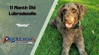 LABRADOODLE / DOG TRAINING