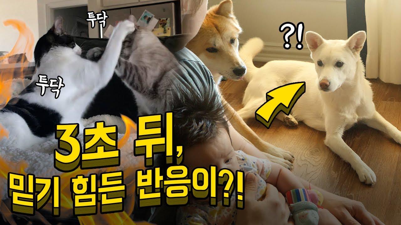 아기 앞에서 고양이가 싸울 때 암컷 진돗개의 놀라운 대처능력