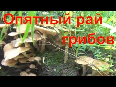 Опятный рай сбор грибов опят в лесу тайге сибирь 18 08 2018 опенок опята грибы  тайга