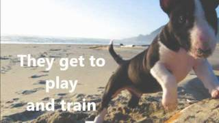 Miniature Bull Terrier Puppies From Kennel Calypso.wmv