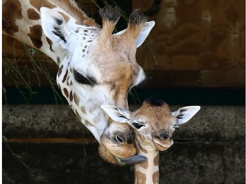 Adorable Baby Giraffe Offers Hope To Critically Endangered Species With Just 750 Left