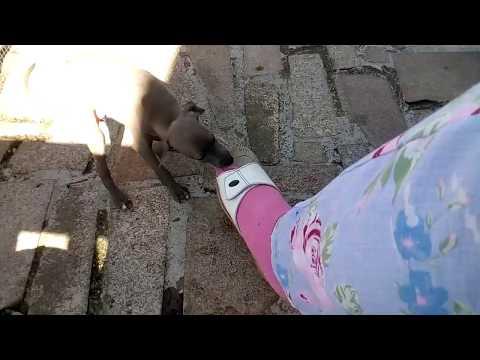 Italienische Windspielbabys, Italian Greyhound puppies