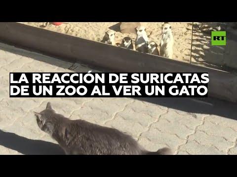 La reazione dei suricati che vedono un gatto per la prima volta diventa virale: ecco il video