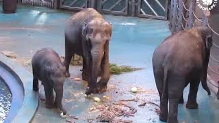 Слон - самое большое сухопутное млекопитающие