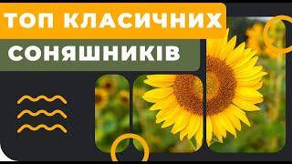 Топ 5 класичних соняшників
