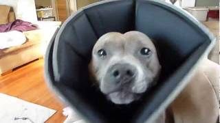 Sadie Makes Funny Noises - Staffordshire Bull Terrier