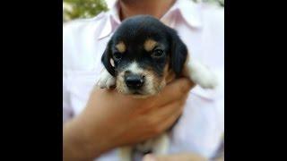 Beagle Puppies (beagle Yavruları )