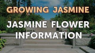 Jasmine Flower Information