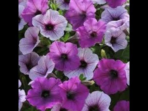 522 How To Grow N Care Petunia Flowers From Seed Hindi Urdu 26 9 17 Youtube