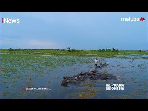 Keseruan Menggembala Kerbau di Desa Alalak Padang dan Panen Padi Part 02 - Geopark Indonesia 14/07