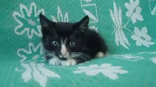 Чёрно-белое чудо - котята в добрые руки!