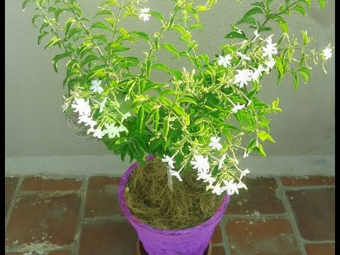 How to grow Juhi Jasmine Flower Plant in Pot-Mullai-Uccimalligai-Jai-Adavimalle-Sucimulla..