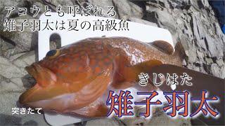 7/18(火曜日) 初キジハタ(アコウ)を竹ヤスで突いて即行捌き食いました。...