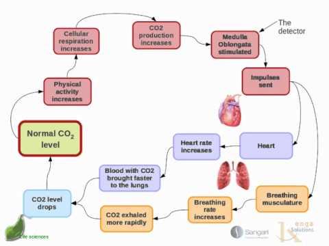 Human homeostasis: Part 3 - Regulation of carbon dioxide