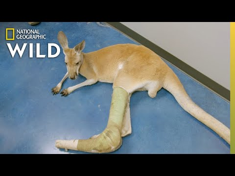 A Kangaroo In Need | Dr. T, Lone Star Vet