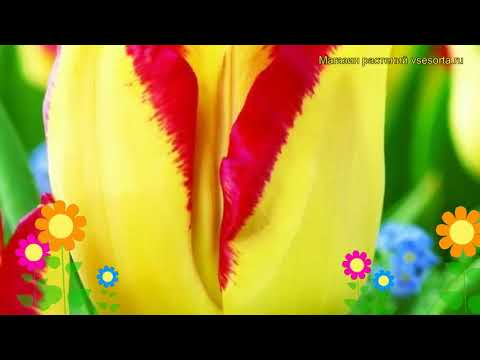 Вопрос: Тюльпан туркестанский, какие характеристики вида?