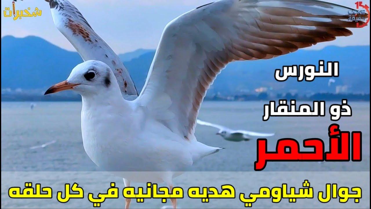طائر النورس ذو المنقار الأحمر Red Billed Seagull شخبرات ٢ ٤ ون دقيقة Onedakeka Youtube