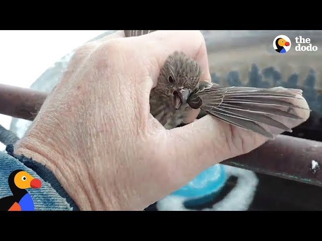 Bird Frozen To Metal Fence Rescued by Kind Man | The Dodo