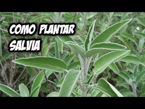 Como plantar salvia en el huerto o jard n plantas for La salvia en la cocina