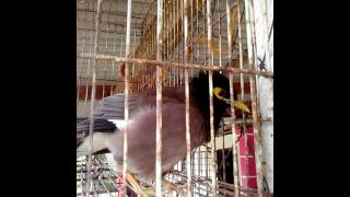 Burung bercakap