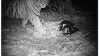 Последний людоед - Тигр убийца