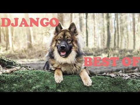 Eurasier Dog - Best of Django