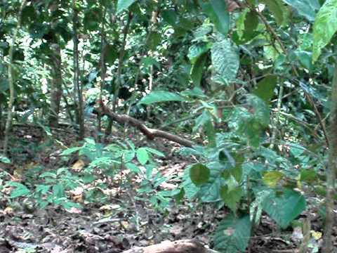 Pumas en Parque Nacional Corcovado - Part 1
