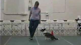 Zoey The Cardigan Corgi Dog Doing Akc Rally Obedience