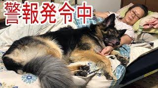 grandchild and #GermanShepherd dog366 cocoフワhoneyさんAkita Inu #J...
