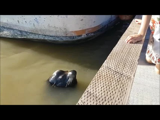 VIDEO: Sea lion grabs girl and pulls her into water