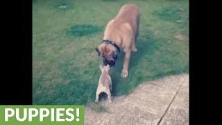 Bullmastiff gently plays with tiny French Bulldog puppy