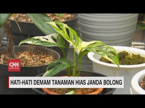 Hati Hati Demam Tanaman Hias Janda Bolong Youtube