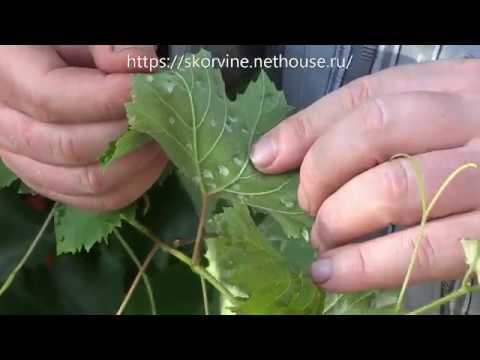 Виноградный зудень - меры борьбы